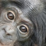 Female bonobos observed helping mother give birth.